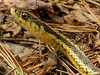 Common Gartersnake, Wonderbrook Preserve, Kennebunk ME