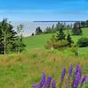 """Lupine"" - Prince Edward Island, Canada"