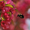 """""""Flight of the Bumble Bee"""""""