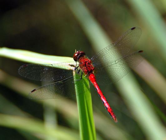 Dragonfly - Ames Pond - Stonington