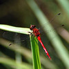 Dragonfly - Ames Pond - Stonington