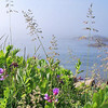 Schoodic Shoreline - Acadia National Park - Wild Flowers on a foggy morning.