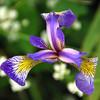 "Wild Iris, aka ""Blue Flag"" and ""Swamp Flower"""