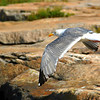On the wing at Schoodic Point