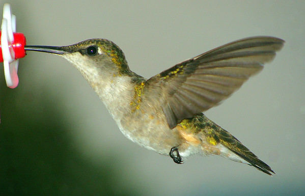 Female hummer at feeder