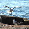 """Gulls at Schoodic Point"""
