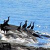 """Cormorants at Schoodic"""
