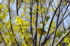 Yellow Warbler at Schoodic's Blueberry Hill