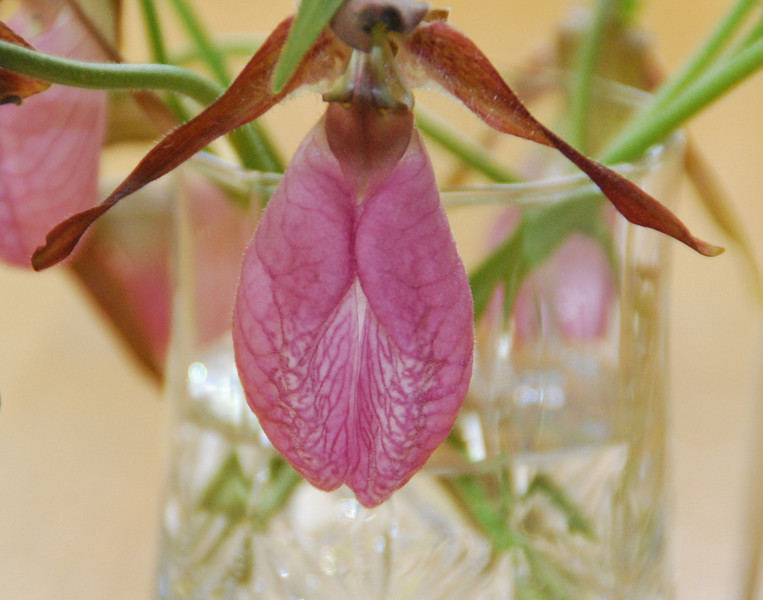 Lady Slipper in water glass.
