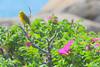 DSC_9545-1 Yellow Warbler Acadia National Park - Schoodic