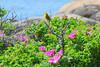 DSC_9556 Yellow Warbler Schoodic
