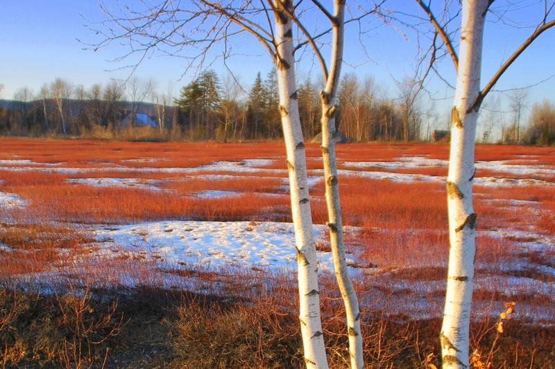 Blueberry barren near Branch Pond on a winter day.