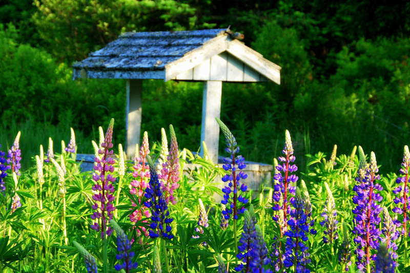 Lupine around a well house near Columbia Falls.