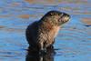 DSC_7690-3 Otter
