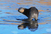 DSC_7695-1 Otter