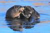 DSC_7705-1 Otter