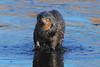 DSC_7688-1 Otter