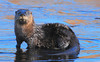 DSC_7703-1 Otter