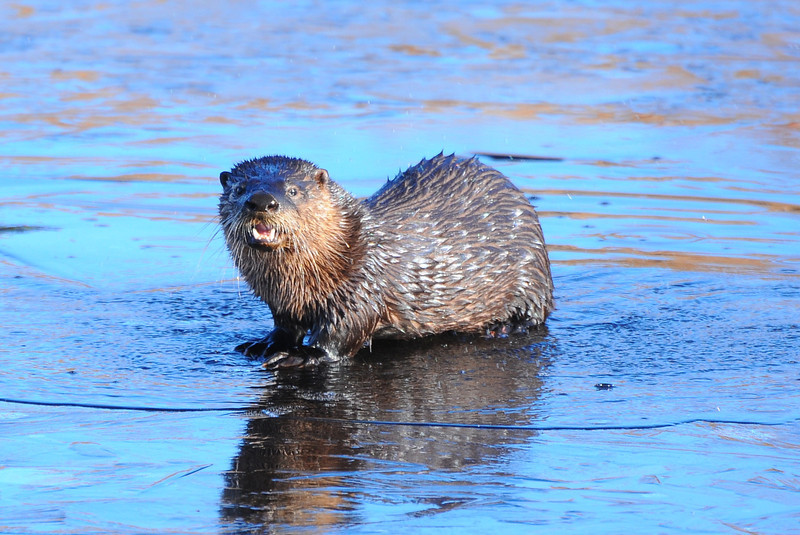 DSC_7613-1 Otter
