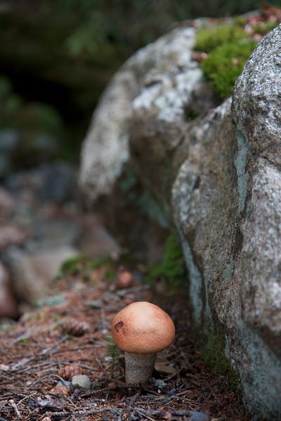 Mushroom at Acadia National Park