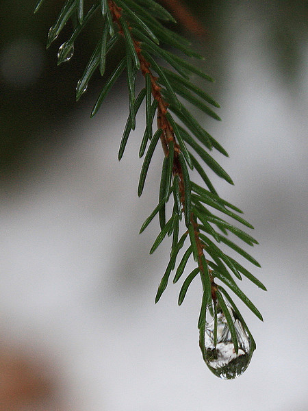 Droplet on Spruce