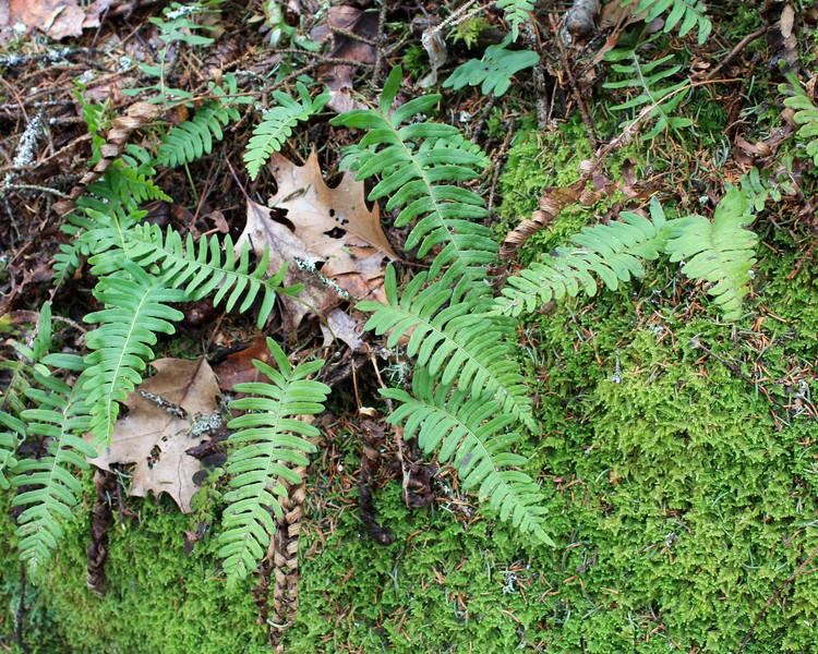 ferns in fern moss