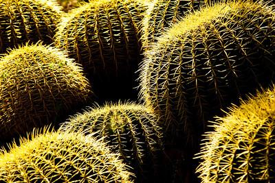 barrrelcactus_flower4410_0025