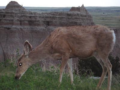 Mule deer near Cliff Shelf the next morning