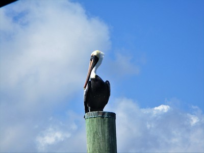Back at Biscayne, a pelican at the marina