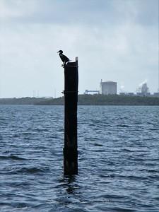 Comorant on a pole