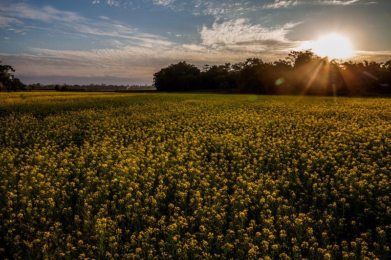 Mustard fields, Majuli, Assam, India