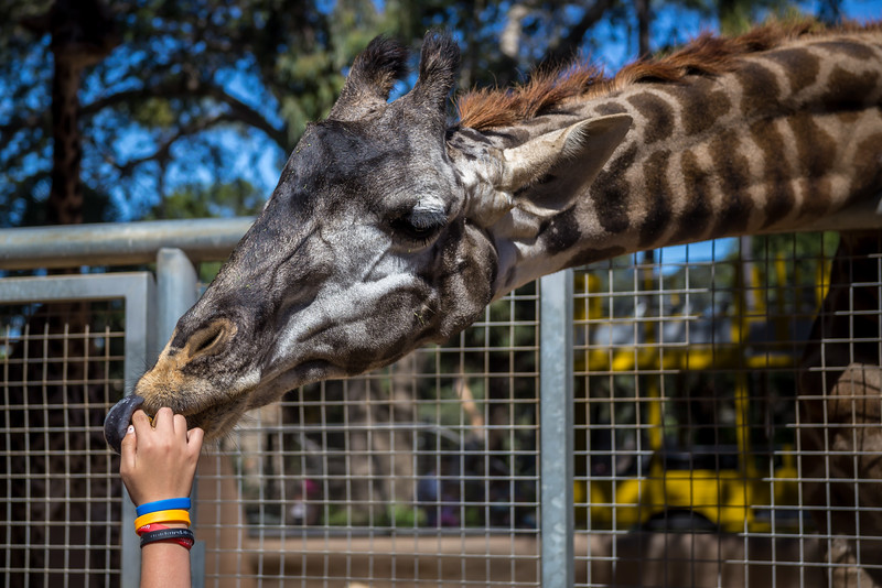 Emma Becomes a Zoo Keeper and feeds a Giraffe