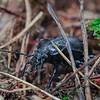 Miškinis puošniažygis (lot. Carabus nemoralis)