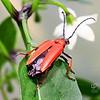 Paprastasis raudonvabalais (Pyrochroa coccinea)