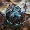Miškinis mėšlavabalis (Anoplotrupes stercorosus)