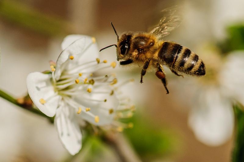 Kirschblüte + Biene