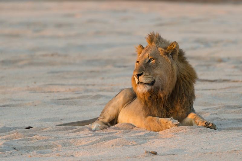 Lion at dusk