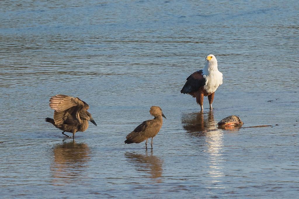 Fish eagle and hamerkops