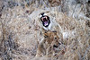 Lion_Yawn_MalaMala_2019_South_Africa_0006