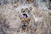 Lion_Yawn_MalaMala_2019_South_Africa_0004