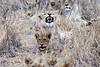 Lion_Yawn_MalaMala_2019_South_Africa_0003