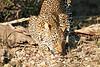 Leopard_Eating_MalaMala_2019_South_Africa_0017