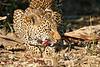 Leopard_Eating_MalaMala_2019_South_Africa_0012