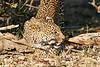 Leopard_Eating_MalaMala_2019_South_Africa_0003