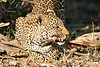 Leopard_Eating_MalaMala_2019_South_Africa_0008