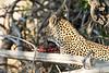 Leopard_Eating_MalaMala_2019_South_Africa_0019