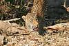 Leopard_Eating_MalaMala_2019_South_Africa_0001