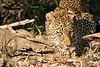 Leopard_Eating_MalaMala_2019_South_Africa_0010