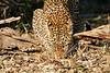Leopard_Eating_MalaMala_2019_South_Africa_0011