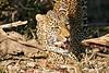 Leopard_Eating_MalaMala_2019_South_Africa_0007